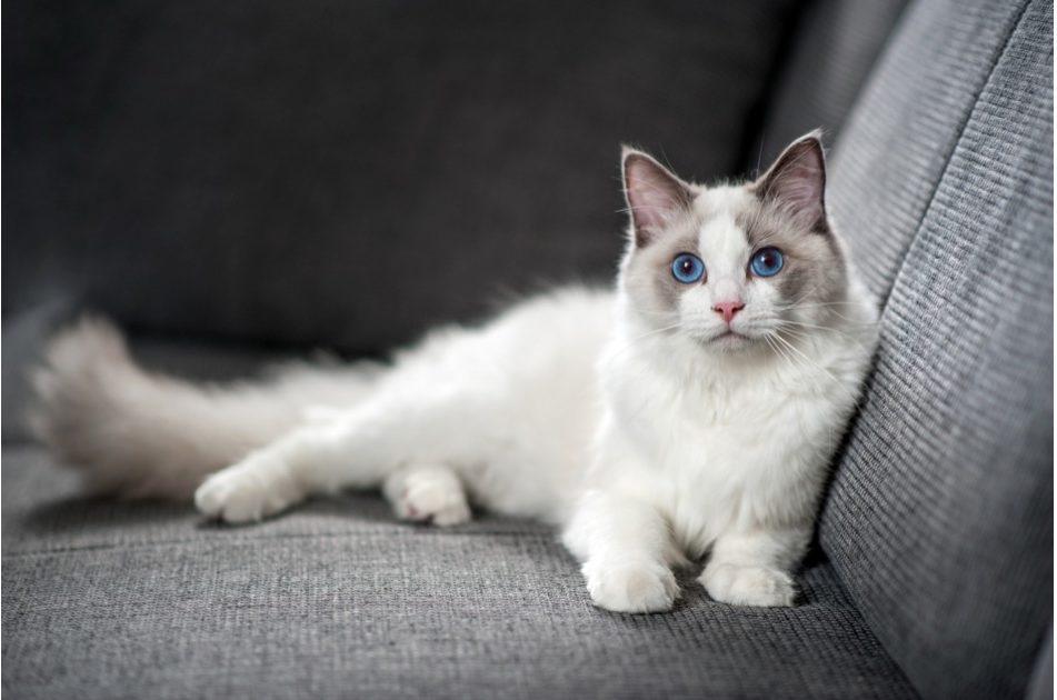 ラグドール 猫