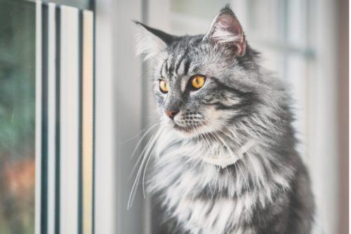 メインクーン 猫